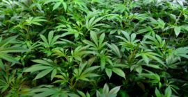 Banking for marijuana companies included in Congress' new $3 trillion coronavirus stimulus bill