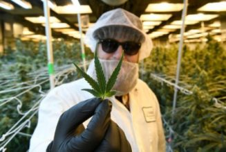"""""""the-boom-is-over"""":-colorado-cannabis-growers-hope-volatile-wholesale-market-is-stabilizing"""