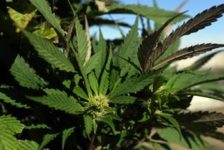 cross-pollination-between-marijuana-and-hemp-is-a-budding-conflict-at-outdoor-grows