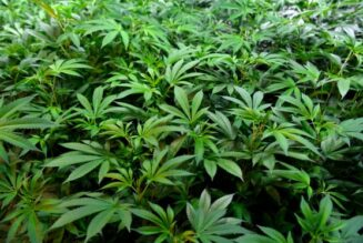 colorado-cold-snap-destroys-millions-of-dollars-worth-of-marijuana-plants,-could-disrupt-industry